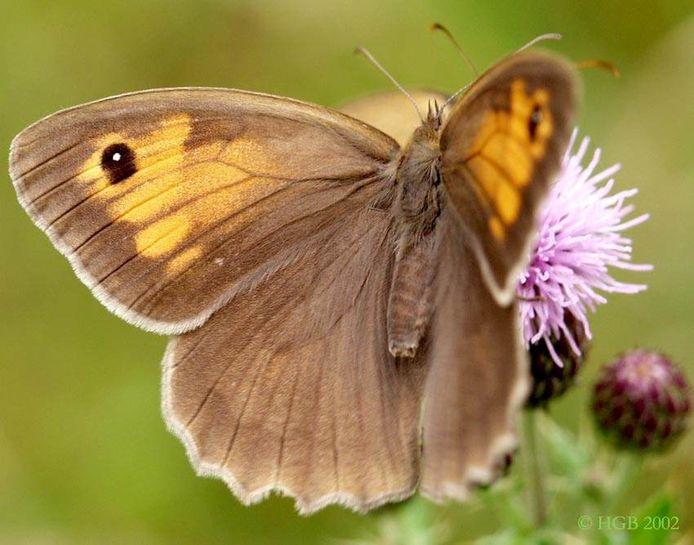 Hoewel de top drie over heel Vlaanderen hetzelfde is zijn er buiten de top drie grote regionale verschillen. Zo haalt het bruine zandoogje wel de vierde plaats maar komt deze vlinder vooral in Oost-Vlaanderen en Vlaams-Brabant voor.