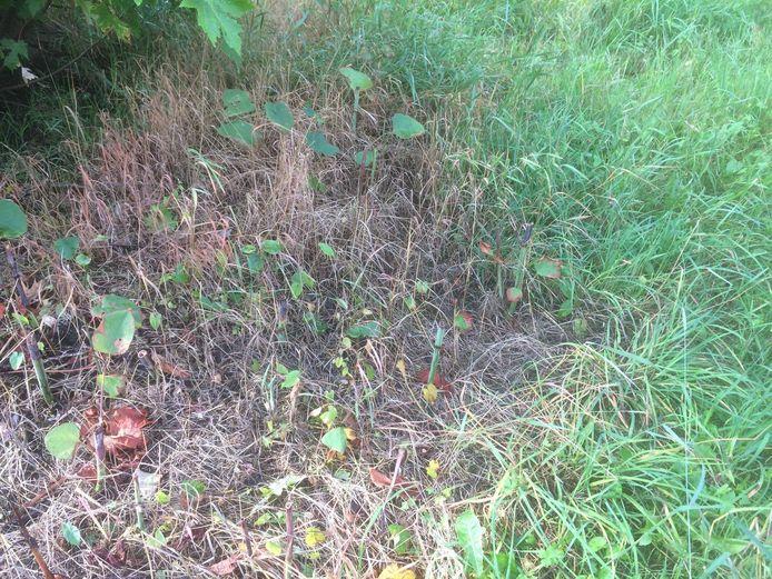 Door het gebruik van Roundup wordt in het Bergkwartier het gras aangetast.