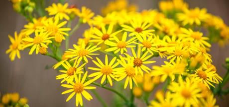 Het ziet er vrolijk uit, maar dit gele bloemetje is enorm giftig voor dieren: 'Dweilen met de kraan open'