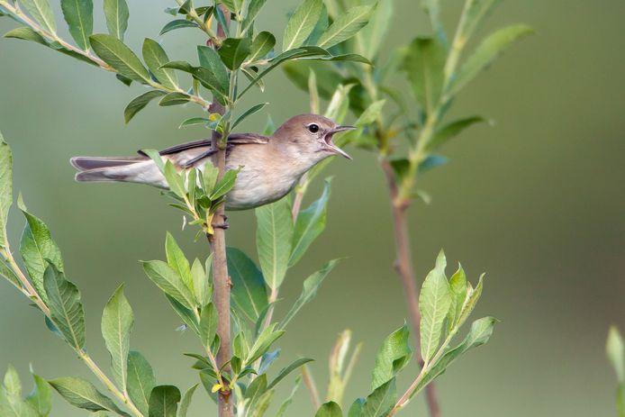 De tuinfluiter is een van de vogelsoorten die zich goed thuisvoelen in het natuurgebied Kelsdonk. Ook soorten als de torenvalk, tjiftjaf en krakeend kun je er tegenkomen.