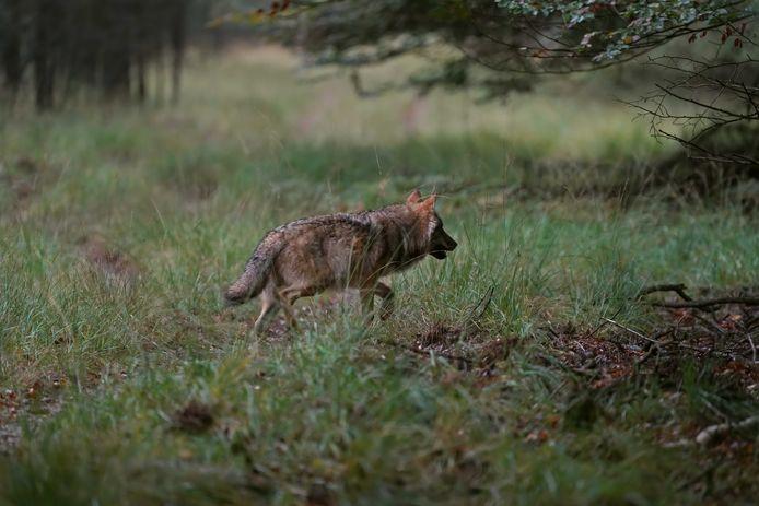 Een wolf op de Veluwe.