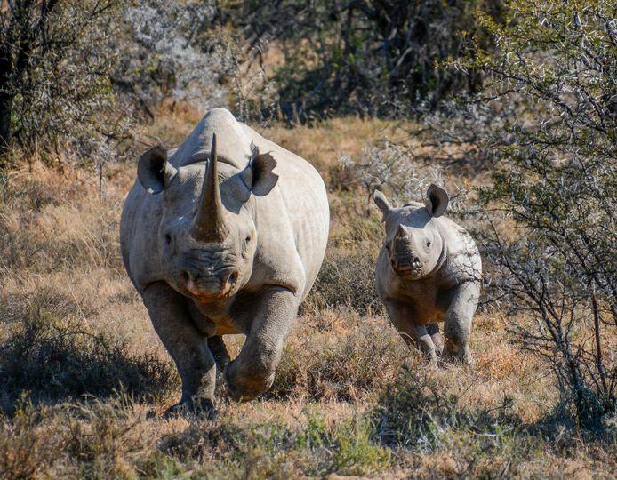 Er zijn nog maar 5.000 zwarte neushoorns, waarvan zo'n 2.000 in Zuid-Afrika.