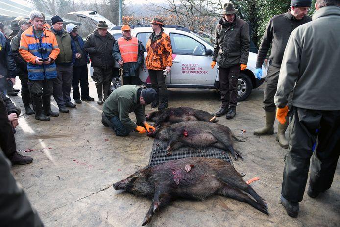 De populatie everzwijnen is op enkele jaren tijd bijna verdubbeld in Meerdaalwoud. De jacht moet de populatie onder controle houden.