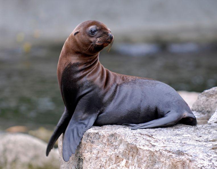 Beeld ter illustratie: een Californische zeeleeuw. Beeld rv