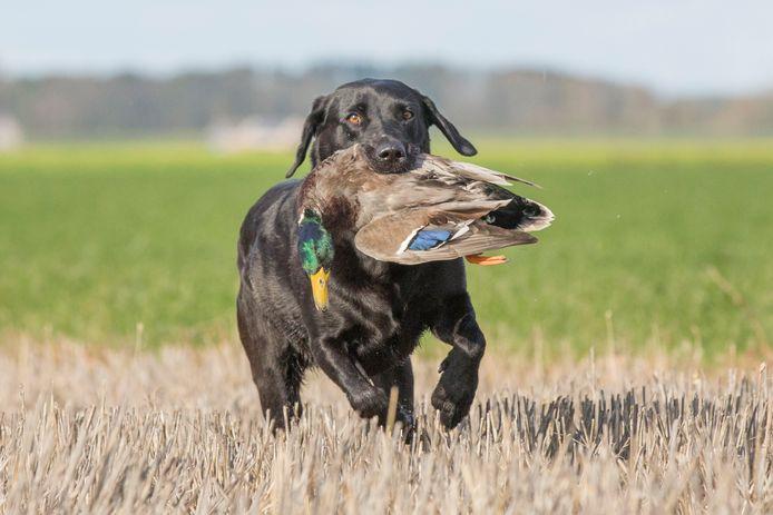 Pippa de labrador apporteert een mannetjeseend. Jagers proberen vrouwtjeseenden te ontzien.