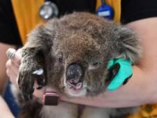 Australiërs massaal op de loop voor vuurzee: Nederland geeft vooral om koala's