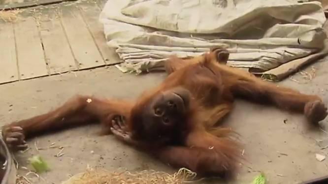 Orang-oetan gooit er een coole dansmove uit
