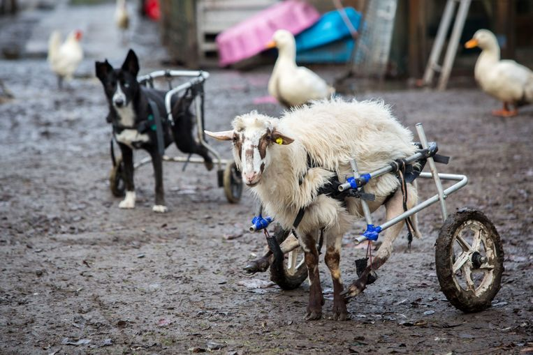 Arie Kievit - Het verlamde Griekse schaap Yiannoula wordt opgevangen in een Zeeuwse zorgboerderij.