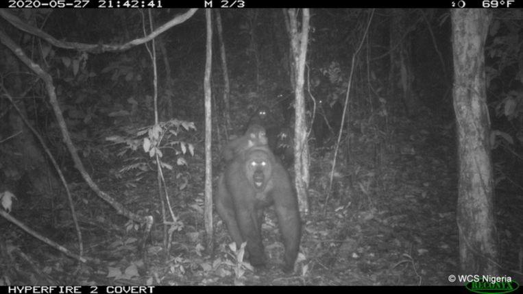 Zeer zeldzame Cross River Gorilla's gefotografeerd bij nacht in de Mbe Bergen in Nigeria. Beeld WCS Nigeria