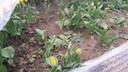 Vertrapte tulpen op het terrein van Pieter Suy.