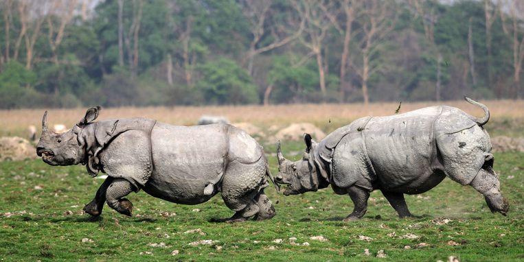 Twee mannelijke Indische neushoorns is gevecht met elkaar.  Beeld EPA