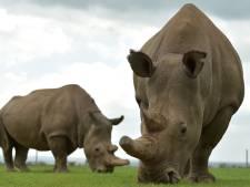 Bijna uitgestorven noordelijke witte neushoorn gered? Twee embryo's zijn laatste hoop