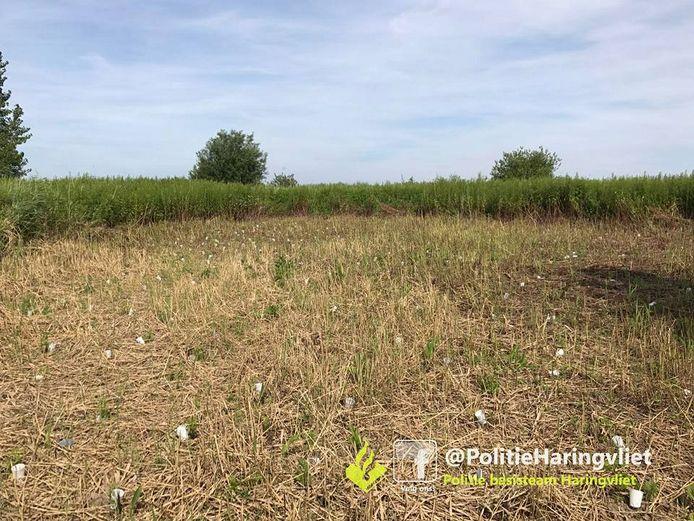 De vier wietplantages die maandag op het eiland Tiengemeten in het Haringvliet werden ontdekt