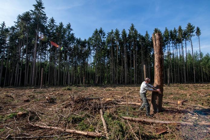 Boswachter Jos Kloppenburg laat de gekapte fijnsparren zien bij de Haarplas in de Boswachterij Hardenberg. De bomen waren aangetast door de letterzetter. COPYRIGHT ALEX MULDER