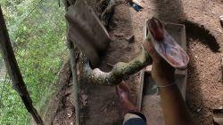 Mannen vangen agressieve python die zich verstopt in kippenhok