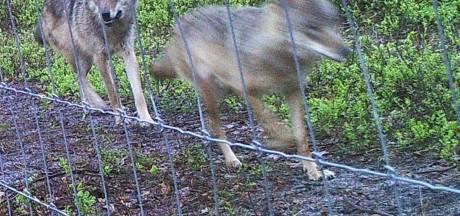 Vijf dode schapen op een dag: heeft de Noord-Veluwse wolvin weer toegeslagen?