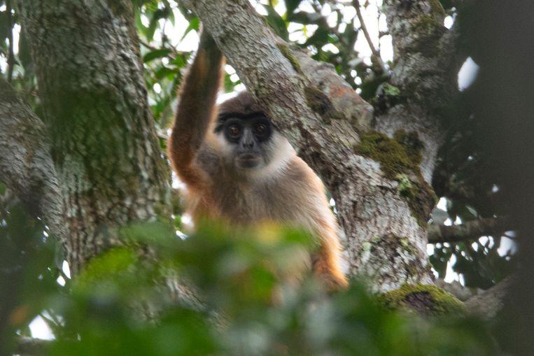 De foto's van Van der Waarde zijn pas de derde fotoserie sinds de aap in 2015 voor het eerst in meer dan veertig jaar werd waargenomen. Beeld Jaap van der Waarde/WWF