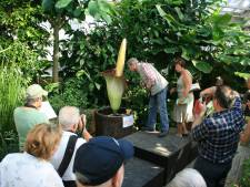 L'arum titan bientôt en fleur au Jardin Botanique de Meise