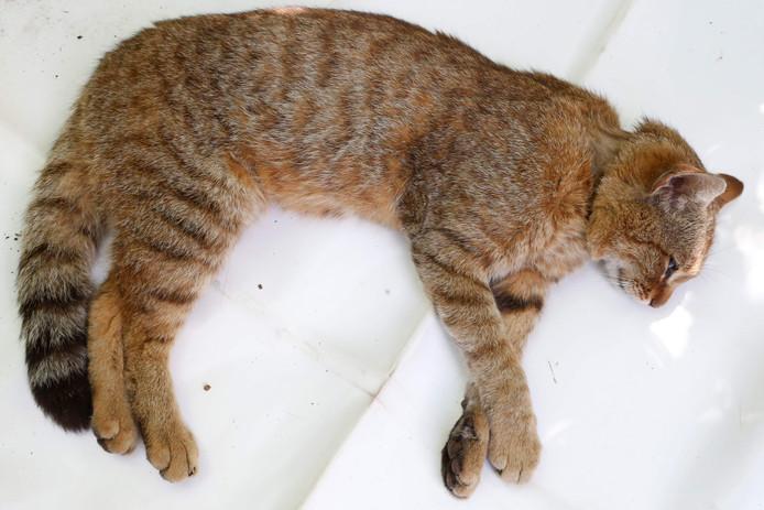 De Felis Silvestris oftewel de voskat die op Corsica leeft. Op de foto staat een levend exemplaar.