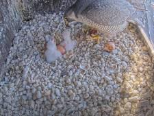 Kijk mee! Eerste twee eieren van slechtvalken op OLV-toren in Amersfoort uitgekomen
