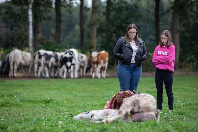 Wolven sloegen eerder deze week meermaals toe in Meeuwen, waar ze een koe en twee pony's doodbeten.