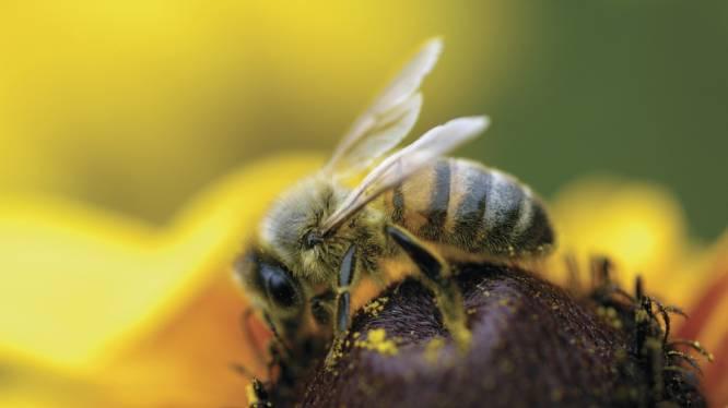 Europese bijen zijn het noorden kwijt