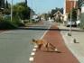 Zo wandelt een hongerig jong vosje vrolijk door de straten van Noorden