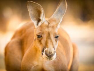 Ontsnapte kangoeroe aangereden en overleden