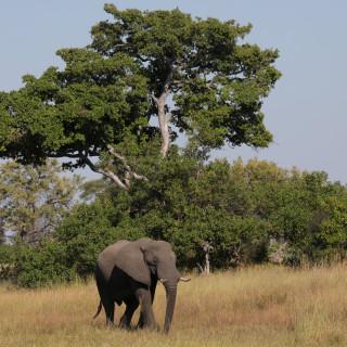Botswana overweegt plezierjacht op olifanten weer toe te staan