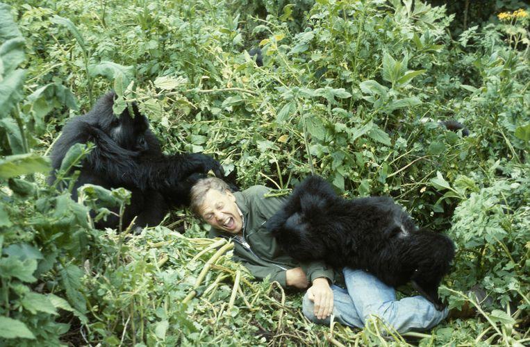 David Attenborough aan het knuffelen met berggorilla's in Life on Earth. Beeld Hollandse Hoogte