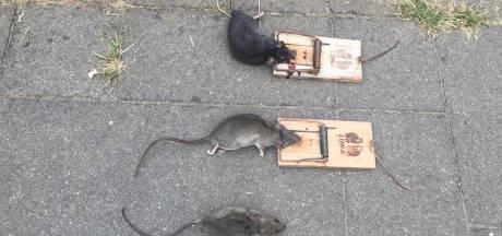 Rattenoverlast: 'Eindhovenaren moeten dit zelf oplossen'