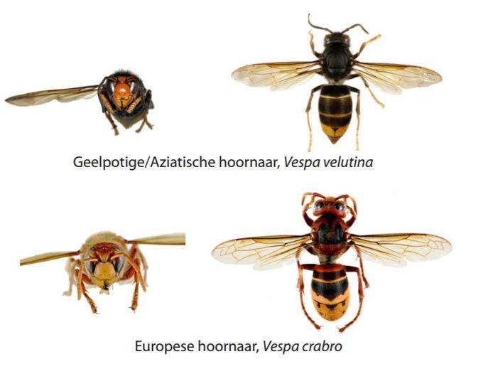 Het verschil tussen de Europese en de Aziatische hoornaar.