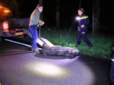Zwijn overlijdt op 'beruchte' N224 bij Ede door botsing met auto