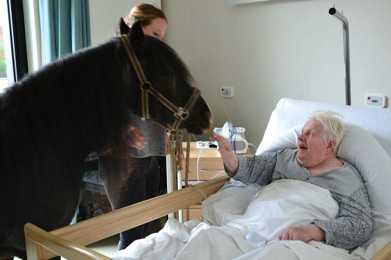 De pony's op bezoek bij de rusthuisbewoners in Erembodegem.