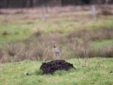De wulp jodelt in Twente en de Achterhoek al in februari