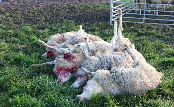 Een schapenhouder vond vijf van zijn dieren dood in een wei in Rosmalen. Zo'n vijftien andere schapen zijn gewond.