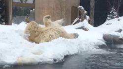 VIDEO. Sakari de ijsbeer geniet met volle teugen van dik pak sneeuw in New Yorkse zoo