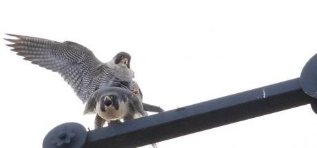 Slechtvalken broeden op Vughtse torenspits; prachtig voor vogelaars, hel voor duivenmelkers