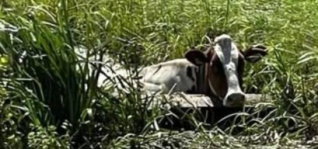 Agenten en boeren komen in actie voor 'zwemmende' koe in Benschop