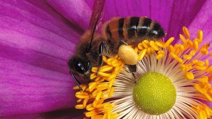 EU in de bres voor bijen: nog een pesticide verboden