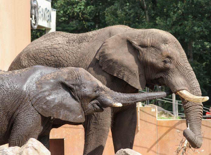 Afrikaanse olifanten Tusker en Duna.