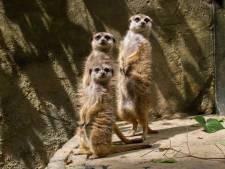 Bij DierenPark Amersfoort maak je binnenkort mogelijk een afspraak om naar aapjes te kijken