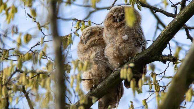 Park Baron Casier heeft er met nestje bosuilen attractie bij