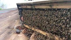 Dit krijg je als een kolonie bijen zeven jaar onder je afdak woont
