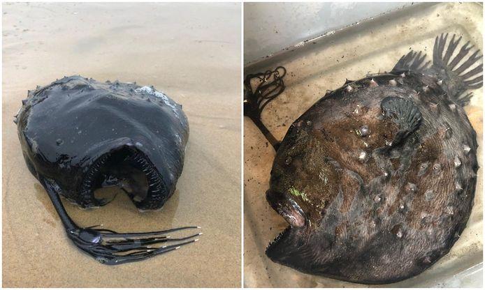 De 'zwarte duivel' die werd gevonden op het strand in Californië.