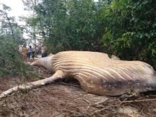 Une baleine à bosse retrouvée... dans la forêt amazonienne