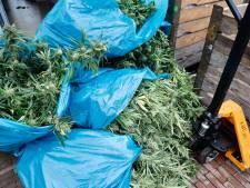 Wietkwekerij met 700 planten ontmanteld in Cuijk