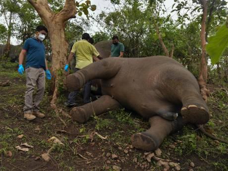 Découverte de 18 dépouilles d'éléphants en Inde, a priori morts foudroyés