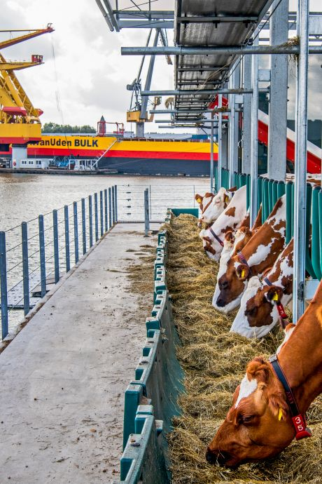 Duitsers roepen op tot boycot van drijvende koeienstal: 'Wij laten zien hoe absurd dit project is'