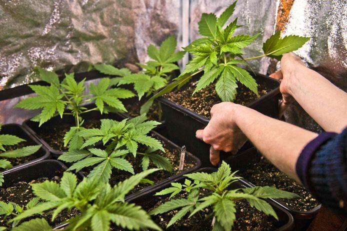 Beeld van een cannabisplantage ter illustratie.